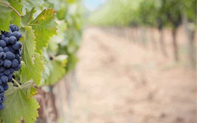 As 10 uvas mais populares no mundo